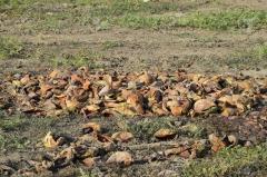 86359559-des-tas-de-pastèques-pourries-Épluchez-du-melon-un-champ-abandonné-de-pastèques-et-de-melons-pastèques-pourri.jpg